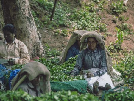 Tea Pickers Of Wayanad