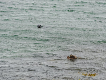 Illugastaðir Seal Watching